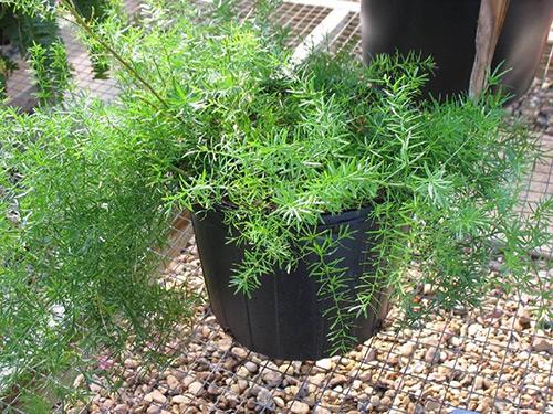комнатное растение аспарагус свойства, приметы, польза