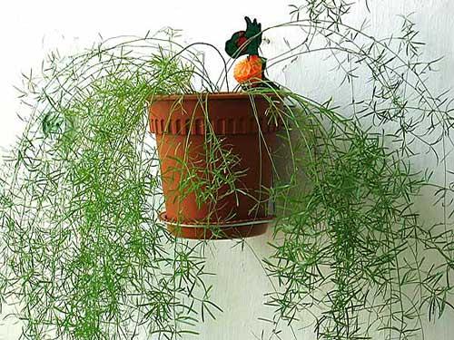 цветок домашний  аспарагус