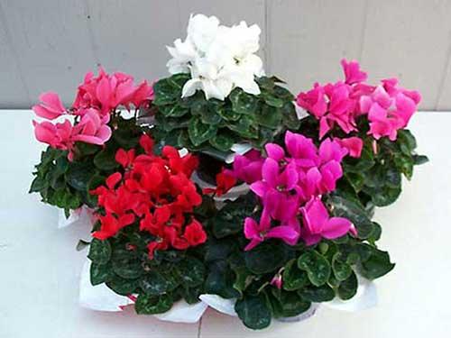 комнатные цветы цикламен