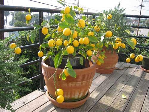 citrusovie-rastenij1