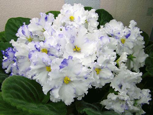 цветы фиалки дома и уход за ними