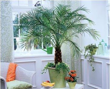 фото домашних пальм и их  виды