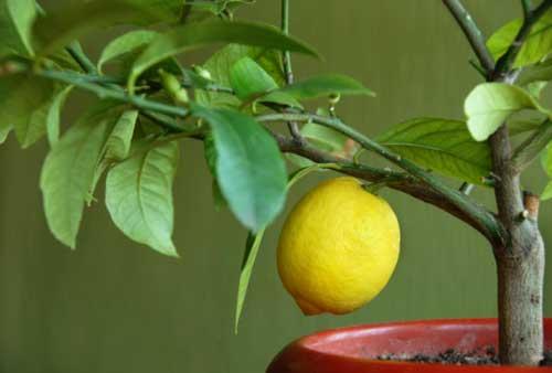простое выращивание лимона из косточки