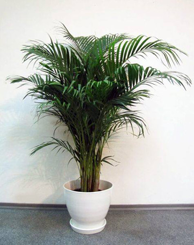 фото пальмы Хризалдокарпус