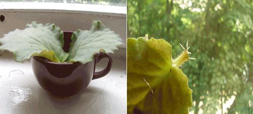узамбарская фиалка дома и ее  размножение листом