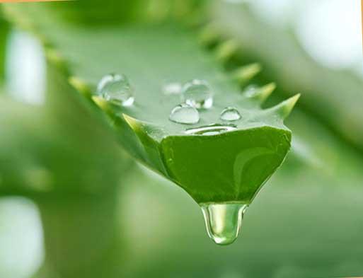 растение алоэ вера  и его применение