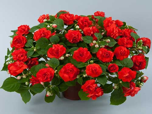 Огонек цветок уход в домашних условиях 100