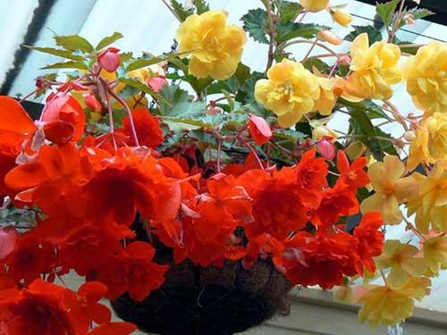 цветок бегония как ухаживать за ней