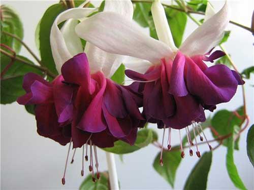 цветы фуксия уход