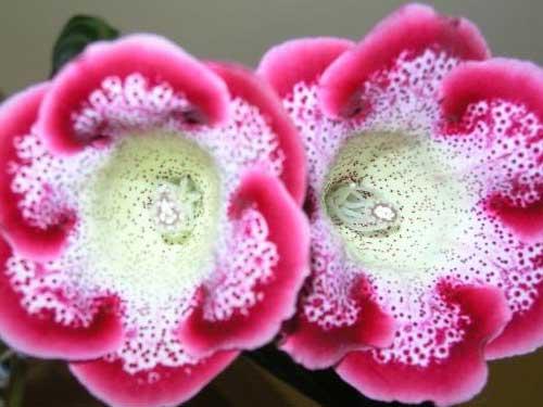 цветок глоксиния как за ней ухаживать