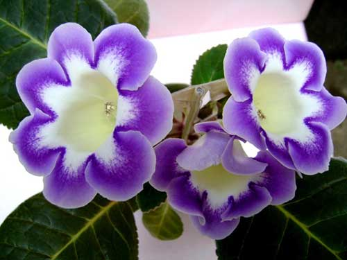 цветок глоксиния в домашних условиях