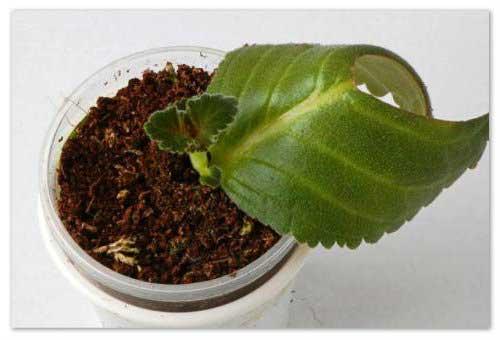 простое размножение глоксинии листом