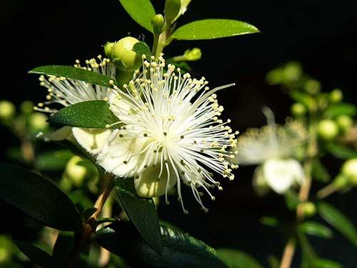 цветок мирта  простой уход