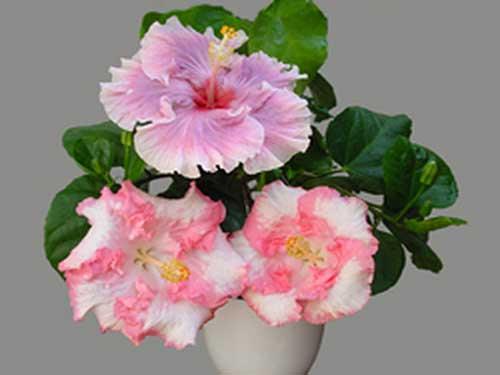 цветок гибискус  и его размножение