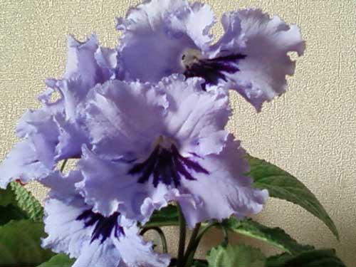цветок стрептокарпус как происходит размножение