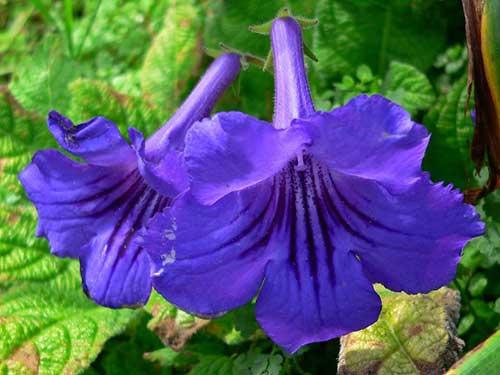Стрептокарпус цветок - как ухаживать