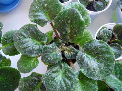 мучнистая роса  на растениях методы лечения
