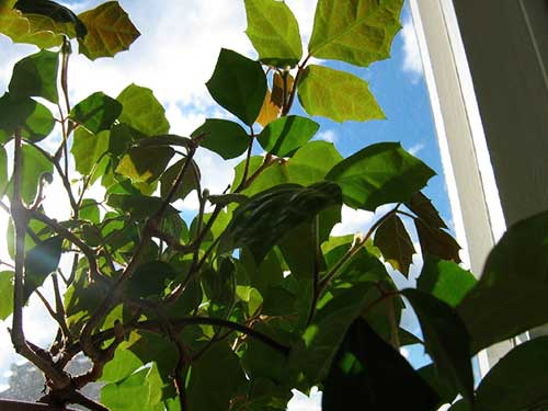 rocissus-rhombifolia2