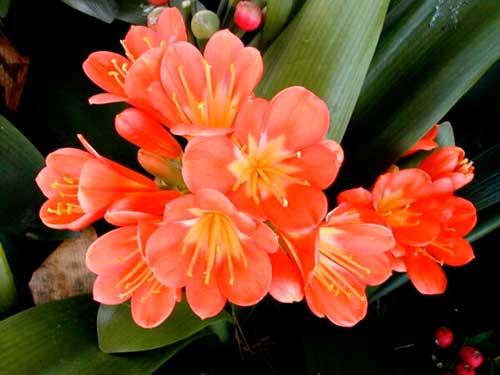 цветок кливия комнатная