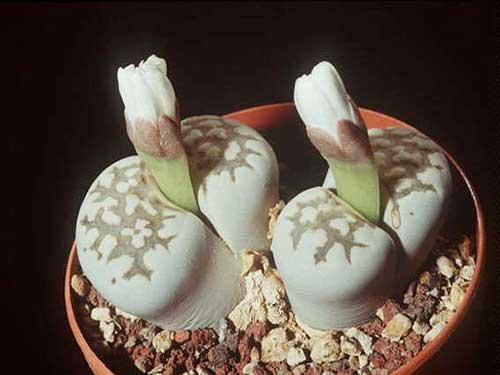 Цветы  живые камни