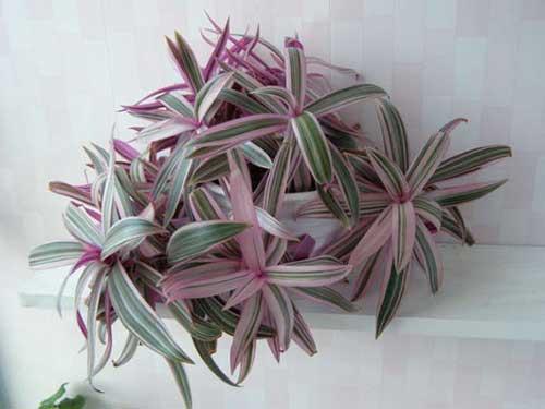 Цветок Рео(традесканция)