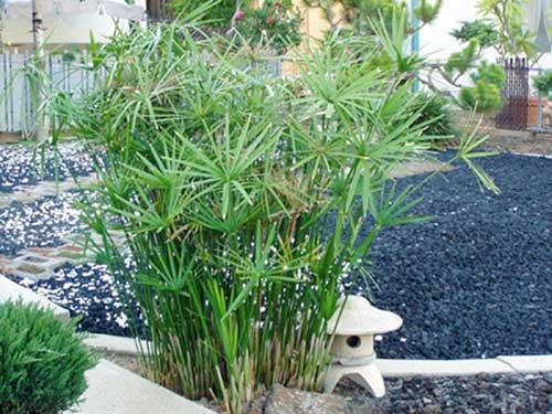 ciperus1
