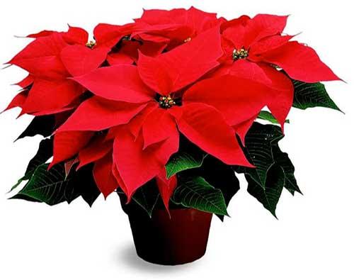 цветок пуантесия