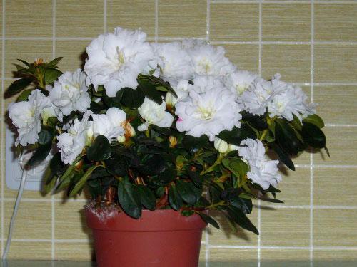 Комнатный цветок как ухаживать азалия