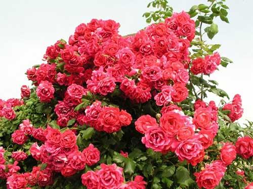 как можно  ухаживать на даче за плетистой розой