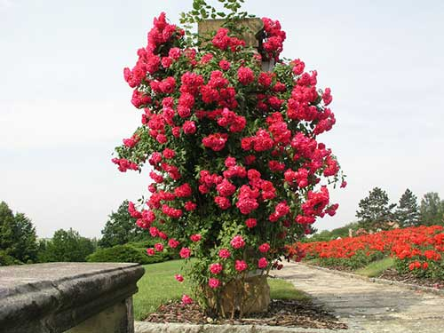 Когда можно сажать розу плетистую 78