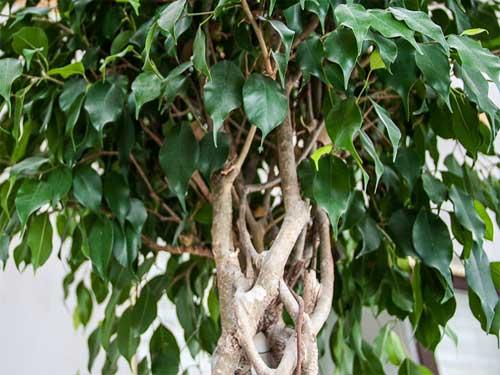 почему фикус бенджамина  так часто сбрасывает листья
