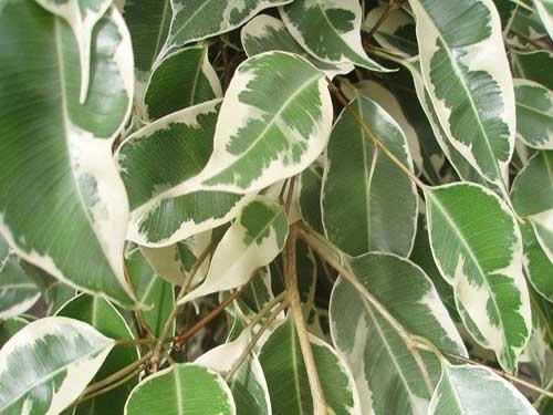 как поступить если фикус бенджамина вдруг  сбрасывает листья
