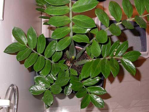 Растение замиокулькас - долларовое дерево