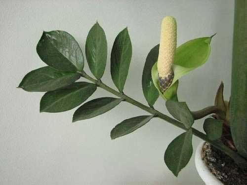 замиокулькас  это долларовое дерево