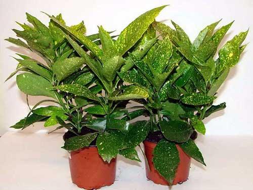 уход в домашних условиях за растением аукуба