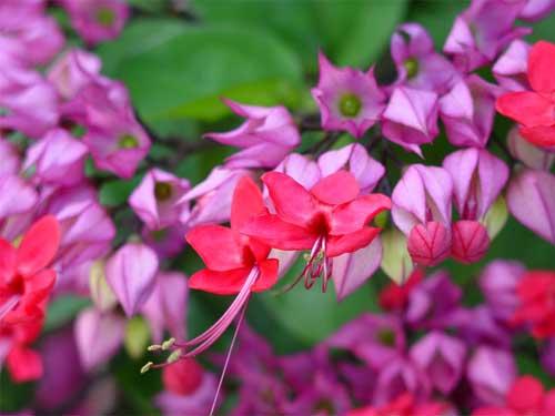 комнатные цветы клеродендрум уход