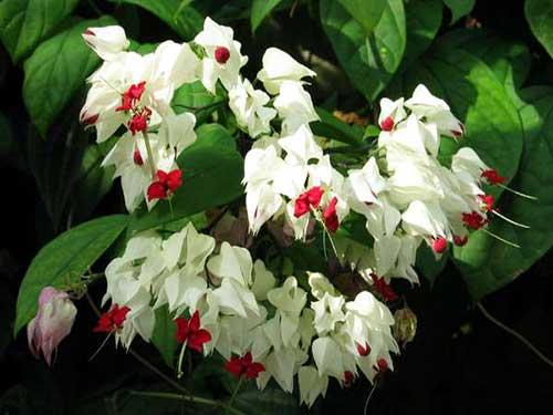 уход за цветком  клеродендрум