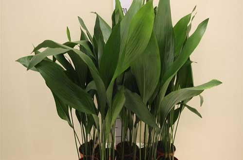 комнатное растение аспидистра и  уход за ней