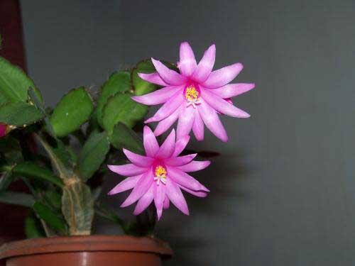 неприхотливый комнатный цветок декабрист какой уход нужен
