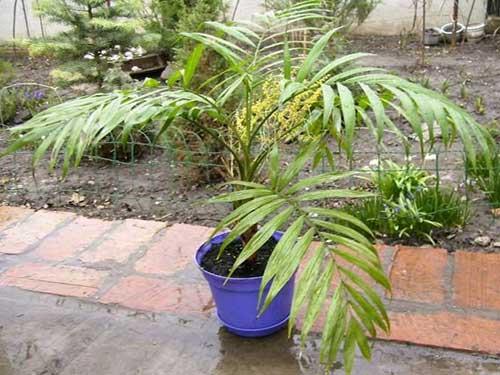 пальма хамедорея  и ее размножение