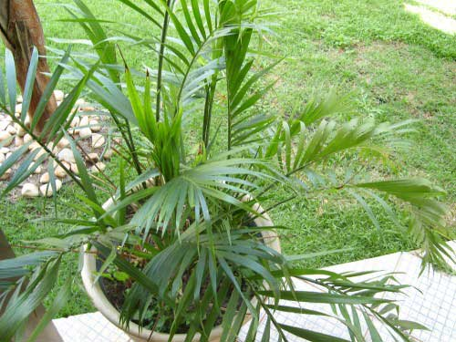уход за пальмой хамедорея  в домашних условиях
