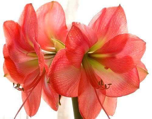 уход за цветком амариллисом