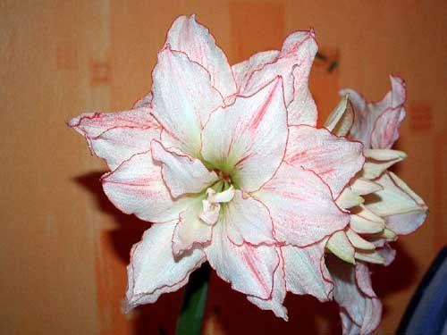 в каком уходе нуждается амариллис после цветения