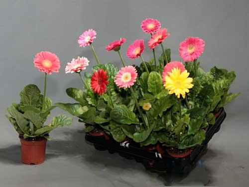 выращивание любимой  герберы в домашних условиях
