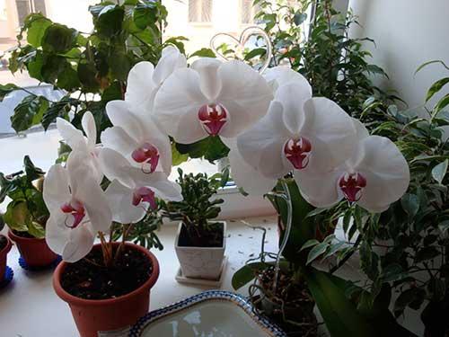 как проводить уход за орхидеями дома