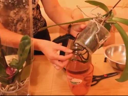 как  можно пересадить правильно  орхидею