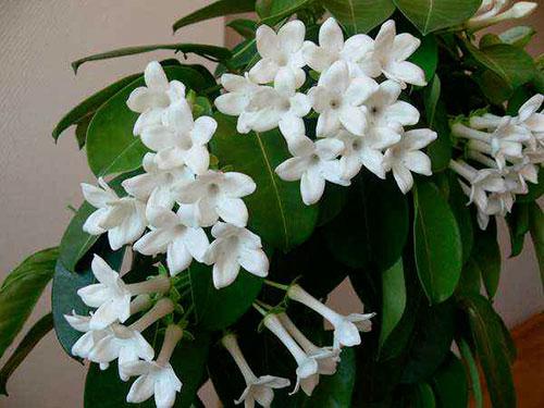 комнатный цветок стефанотис какой  уход за ним нужен