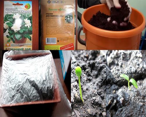 высадка семян гардении
