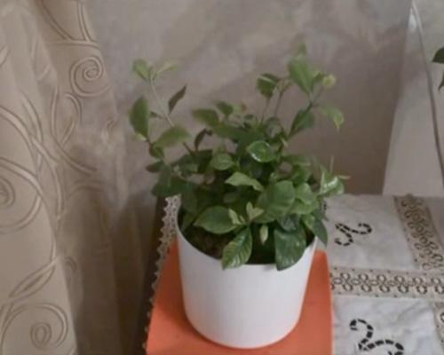 выращивание гардении жасминовидной из семян