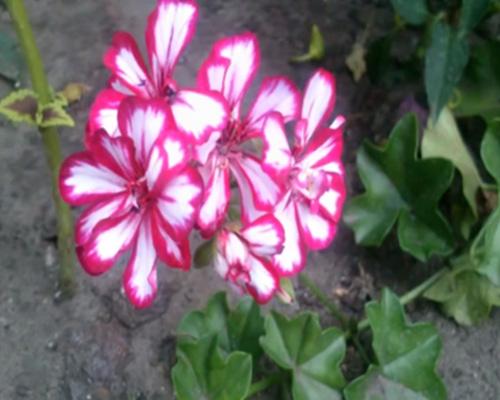 причины почему не цветет герань